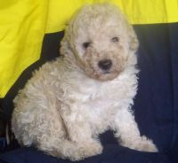 Toy Poodle Puppies for sale in Berkeley, CA, USA. price: NA