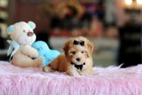 Toy Poodle Puppies for sale in Fort Lauderdale, FL, USA. price: NA