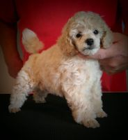 Toy Poodle Puppies for sale in Tampa, FL, USA. price: NA