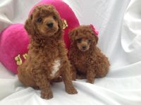 Toy Poodle Puppies for sale in Seattle, WA, USA. price: NA