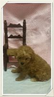 Toy Poodle Puppies for sale in Splendora, TX, USA. price: NA