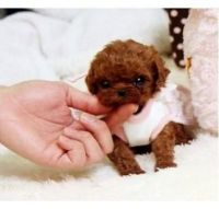 Toy Poodle Puppies for sale in Albany, NY, USA. price: NA