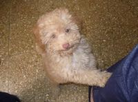 Toy Poodle Puppies for sale in Yorktown, IN, USA. price: NA