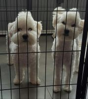 Toy Poodle Puppies for sale in Port Aransas, TX, USA. price: NA