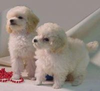 Toy Poodle Puppies for sale in Portland, OR, USA. price: NA