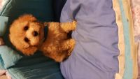 Toy Poodle Puppies for sale in Battle Creek, MI, USA. price: NA