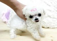 Toy Poodle Puppies for sale in San Antonio, TX, USA. price: NA