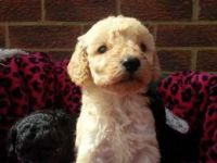 Toy Poodle Puppies for sale in Cedar Rapids, IA, USA. price: NA