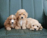 Toy Poodle Puppies for sale in Santa Clara, CA, USA. price: NA