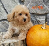 Toy Poodle Puppies for sale in Canton, OH, USA. price: NA