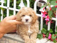 Toy Poodle Puppies for sale in Cleveland, OH, USA. price: NA