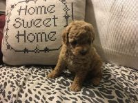 Toy Poodle Puppies for sale in Los Angeles, CA 90033, USA. price: NA