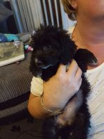 Toy Poodle Puppies for sale in Boston, MA, USA. price: NA