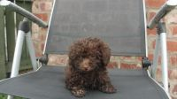 Toy Poodle Puppies for sale in Columbus, OH, USA. price: NA