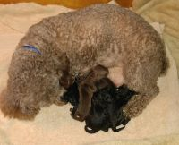 Toy Poodle Puppies for sale in Torrington, CT, USA. price: NA