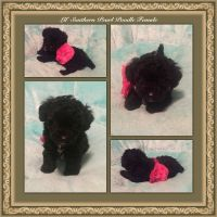 Toy Poodle Puppies for sale in Magnolia, TX, USA. price: NA