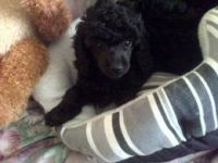 Toy Poodle Puppies for sale in Terminal Dr, Nashville, TN 37214, USA. price: NA