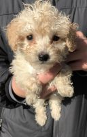 Toy Poodle Puppies for sale in Redford Charter Twp, MI, USA. price: NA