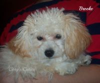 Toy Poodle Puppies for sale in Elkland, MO 65644, USA. price: NA