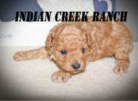 Toy Poodle Puppies for sale in Hannibal, MO 63401, USA. price: NA