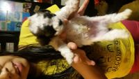 Toy Poodle Puppies for sale in Eden, NC 27288, USA. price: NA
