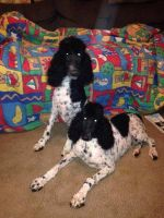 Toy Poodle Puppies for sale in Pelham, NC 27311, USA. price: NA
