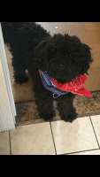Toy Poodle Puppies for sale in Dearborn Heights, MI, USA. price: NA