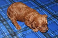 Toy Poodle Puppies for sale in Merritt Island, FL, USA. price: NA
