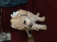 Toy Poodle Puppies for sale in Whittier, CA 90602, USA. price: NA
