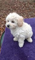 Toy Poodle Puppies for sale in Los Angeles, CA 90050, USA. price: NA