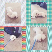 Toy Poodle Puppies for sale in East Stroudsburg, PA 18301, USA. price: NA