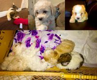 Toy Poodle Puppies for sale in Hauppauge, NY, USA. price: NA