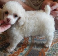 Toy Poodle Puppies for sale in Gulfport, MS, USA. price: NA