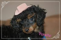 Toy Poodle Puppies for sale in Casa Grande, AZ, USA. price: NA
