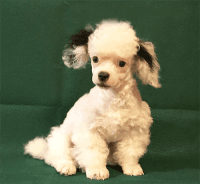 Toy Poodle Puppies for sale in Onalaska, TX 77360, USA. price: NA