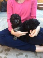 Toy Poodle Puppies for sale in Birmingham, AL, USA. price: NA