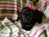 Toy Poodle Puppies for sale in Colonial Heights, VA 23834, USA. price: NA