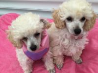 Toy Poodle Puppies for sale in Marietta, GA, USA. price: NA
