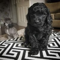 Toy Poodle Puppies for sale in Tempe, AZ, USA. price: NA
