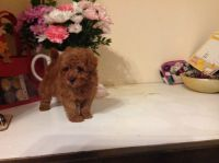 Toy Poodle Puppies for sale in El Paso, TX, USA. price: NA