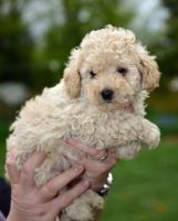 Toy Poodle Puppies for sale in Ann Arbor, MI, USA. price: NA