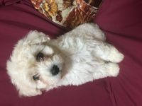 Toy Poodle Puppies for sale in Lancaster, CA 93535, USA. price: NA