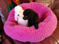Toy Poodle Puppies for sale in Palm Springs, CA 92262, USA. price: NA