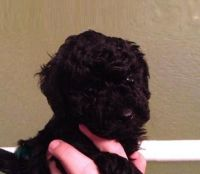 Toy Poodle Puppies for sale in Altamonte Springs, FL 32701, USA. price: NA