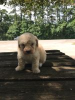 Toy Poodle Puppies for sale in Conroe, TX, USA. price: NA