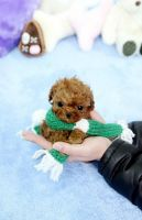 Toy Poodle Puppies for sale in Memphis, TN, USA. price: NA