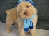 Toy Poodle Puppies for sale in CA-1, Mill Valley, CA 94941, USA. price: NA