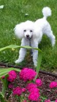Toy Poodle Puppies for sale in Jeddo, MI 48032, USA. price: NA