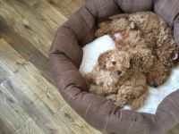 Toy Poodle Puppies for sale in Houston, TX 77001, USA. price: NA