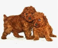 Toy Poodle Puppies for sale in Atlanta, GA, USA. price: NA